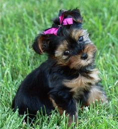 Yorkiepoo - 1/2 mini-poodle & 1/2 yorkshire terrier.  They will always look like puppies.  I have 2 brothers - one w/ hair of poodle & the other w/ hair of yorkie - both jet black. They weigh 5 & 6 lbs.
