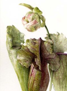 Learn botanical art from Elaine Searle, award-winning artist and tutor. I offer online tuition, workshops and botanical art holidays. Art Floral, Botanical Drawings, Botanical Illustration, Illustration Art, Botanical Flowers, Botanical Prints, Watercolor Flowers, Watercolor Paintings, Watercolours