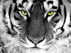 White Tiger 9 Wallpaper Background Hd