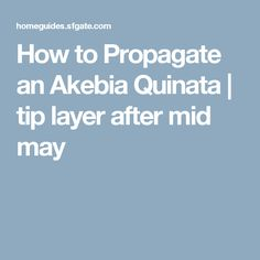 How to Propagate an Akebia Quinata | tip layer after mid may