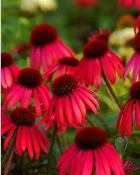 Coneflower 'Twilight', 'Echinacea
