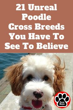 If you love Poodles as much as we do then you're sure to love these 21 gorgeous Poodle mixes.