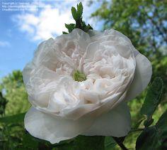 """Damask rose """"Madame Hardy"""""""
