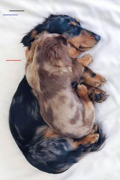 Cute Dachshund Dogs Sleeping - Top Funny Dachshund Sleeping Positions And What They Mean Each dachshund or other dog, even with th - Dachshund Funny, Dachshund Puppies, Weenie Dogs, Cute Dogs And Puppies, Baby Dogs, Chihuahua, Doggies, Daschund, Cute Dogs And Cats