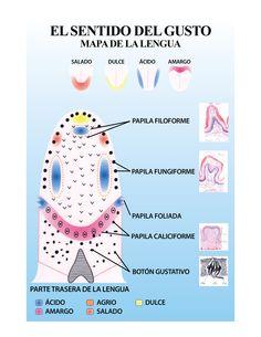 Lámina: El sentido del gusto - Mapa de la lengua. LGALLP