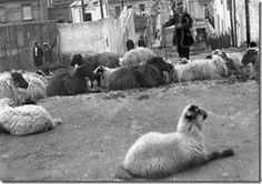 Λιδορικιώτης τσοπάνης, βόσκει τα πρόβατά του στον οδό Πινδάρου στο Κολωνάκι το 1920. Την εποχή εκείνη το Κολωνάκι το έλεγαν και Κατσικάδικα.