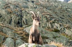 September Aiguilles Rouges near Chamonix, France. Friendly Ibex posing in the warm afternoon light. Winter Mountain, Mountain Landscape, Alps, Animals, Animales, Animaux, Animal Memes, Animal, Animais
