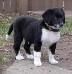 Dante is an adoptable Border Collie Dog in St. Charles, IL. Dante is one of our newest arrivals. He is a super cute and super friendly 12 lb., 9 week old Border Collie mix. His tail is always wagging,...