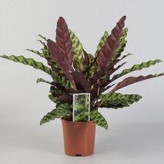 Nyílgyökér, Calathea lancifolia 17 cm-s cserépben - levéldísznövények - Virág-online.hu. Kert, dísznövény,virág ?! Kertészeti webáruház.