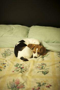 Little Beagle :)