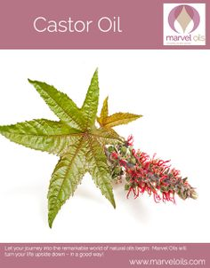 CASTOR OIL comes from the beans contained in the spiny capsules of the castor-oil plant, a large shrub of tropical Africa and Asia. It is an unusual 'Marvel Oil' because it doesn't smell nice, it doesn't feel nice and it certainly doesn't taste nice Despite all the negatives, Castor Oil is indeed marvellous and knowledge of its effectiveness goes back thousands of years Cleopatra is reputed to have used Castor oil for her hair and face. LEARN…