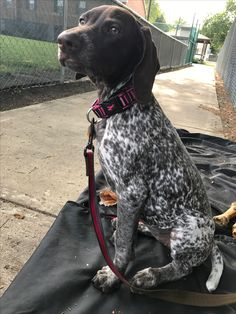 Things I love about the Energetic German Shorthaired Pointer Puppies Gsp Puppies, Pointer Puppies, Pointer Dog, French Dogs, German Dogs, German Shorthaired Pointer, Hunting Dogs, Family Dogs, Service Dogs