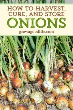 Are your onions ready to harvest? Learn when to harvest and how to cure storing onions to provide delicious flavor to winter soups, bone broths, chili, stews, and roasts. Chili, Gardening For Beginners, Gardening Tips, Storing Onions, The Cure, Home Vegetable Garden, Veggie Gardens, Winter Soups, Winter Food