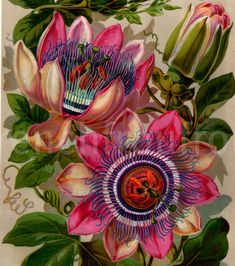 antique botanical print passion flower 1893 by FrenchFrouFrou