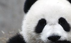 "screw ""pet a panda"".i want to hug a panda.a big ol' panda hug! Photo Panda, Bucket List Before I Die, Panda Love, Panda Panda, Happy Panda, Life List, Summer Bucket Lists, Adventure Is Out There, Cute Animals"