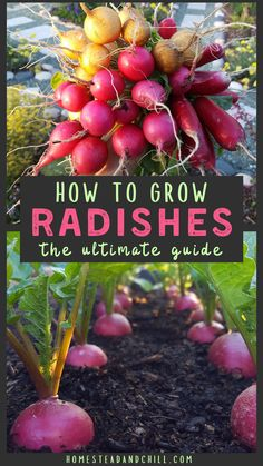 How to Grow Radishes: From Seed to Table ~ Homestead and Chill - Radishes are one of the most quick-maturing, versatile, easy-to-grow crops in the garden! Read along - Planting Radishes, Planting Onions, Planting Vegetables, Gemüseanbau In Kübeln, Magic Garden, Backyard Vegetable Gardens, Garden Compost, Veg Garden, Garden Pond