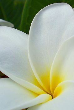 Plumerias. Aaahhh. Love them so much.