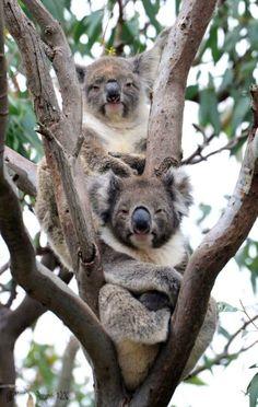 Koalas - Sorry, no idea who took this. Great shot though. Baby Koala, Koala Bears, Koala Tattoo, The Wombats, Australia Animals, Animal Antics, Tier Fotos, Cute Funny Animals, Animals Beautiful