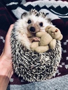 35 Pictures Of The Cutest Hedgehog You Will See Today | CutesyPooh So Cute Baby, Baby Animals Super Cute, Cute Little Animals, Cute Funny Animals, Cute Babies, Baby Animals Pictures, Cute Animal Pictures, Animals And Pets, Funny Pictures