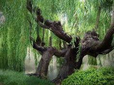 weeping willows ile ilgili görsel sonucu