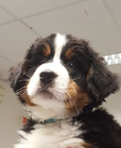 Berner Sennen Sam Animals And Pets, Baby Animals, Cute Animals, Chase Your Dreams, Bernese Mountain, Dog Days, Puppy Love, Doggies, Fur Babies
