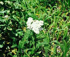 Yarrow is one of the most beneficial wild plants that there is. Foraging for yarrow is easy and fun, you might even have some in your own backyard!