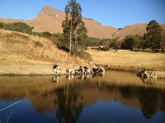 Sundowners for the Nguni cattle. Cattle, River, Outdoor, Gado Gado, Outdoors, Outdoor Games, The Great Outdoors, Rivers