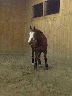 Paint Western Pleasure Horse. Barpassers Redi Image