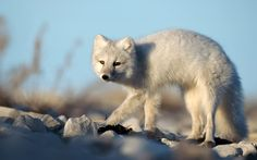 Arctic Fox HD Wallpapers Backgrounds Wallpaper Page