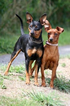 110 Best Miniature Pinscher Dog Names Mini Pinscher, Miniature Doberman Pinscher, Mini Doberman, Pet Dogs, Dogs And Puppies, Dog Cat, Chihuahua Dogs, Doggies, Min Pin Dogs