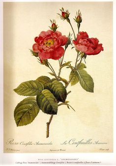 ROSES Print REDOUTE 2007  Color Art Print от NaturalistCollection