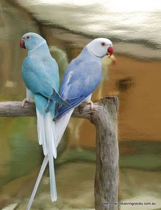 Violet and blue cleartail indian ringnecks. The one on the right.. white and blue-violet. Hair color inspiration.: