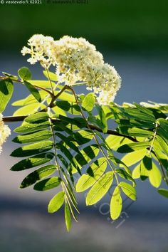 Pihlaja -  pihlaja Sorbus ruusukasvit Rosaceae Rosales oksa pihlajanlehdet pihlajankukka kukka kukinto pihlajanlehti valkoinen vihreä valo varjo kesä luonto puu puut lehtipuu