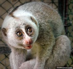 """slow lorises (not """"lorii"""") are one of the few poisonous mammals on earth. Even though they're only between eight and 15 inches tall, they have sharp teeth which are capable of delivering a painful bite. But more importantly, every slow loris has a gland on the ventral side of its elbow (in humans, it's the part of the arm where the needle goes when you give blood) that secretes a toxin. If this toxin even touches human skin, the victim can go into anaphylactic shock and die."""