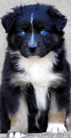 All About The Work-Oriented Australian Shepherd Exercise Needs Super Cute Puppies, Cute Dogs And Puppies, Baby Dogs, I Love Dogs, Doggies, Cute Dogs Breeds, Dog Breeds, Beautiful Dogs, Animals Beautiful
