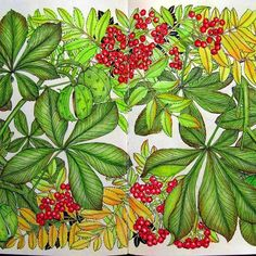The Flower Year by Leila Duly, horse chestnut and Rowan berries in prism a colors.#thefloweryearcoloringbook #thefloweryear #leiladuly #horsechestnut#conkers#rowan#berries#sumac#autumn#leaves#adultcolouring #colouringbook