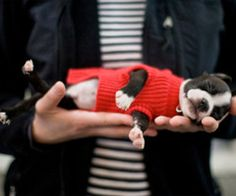 tiny boston terrier in a red sweater  I cannot hit the 'like' button any harder!
