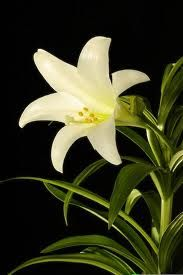 Easter lilies are very toxic to cats. Members of the lily family (Easter, tiger, day, rubrum, Japanese show) can cause kidney failure in felines within 72 hours. Lilies should be removed from homes with cats, or kept inaccessible. More poisonous plant information at: http://oregonvma.org/care-health/poisonous-plants