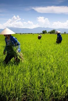 'Rice Paddy', Vietnam, Ho Chi Minh City, Countryside, Rice Fields & Workers