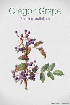 Oregon Grape Berberis aquifolium #L4L #animals #vitaminB