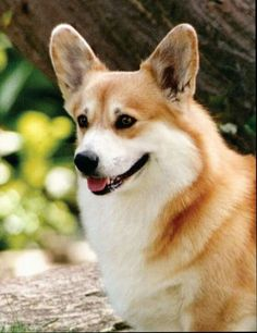 Jade Tree Penway Up Country, sire of many champions in USA, Britain and Canada. A stellar example of corgi perfection.