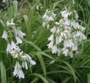 Foraging Allium triquetrum, Glöckchenlauch