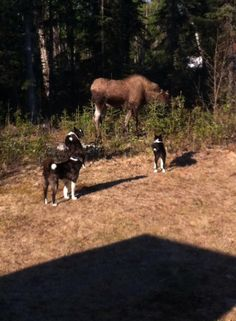 Karelian bear dog and moose Bear Dogs, Bear Puppy, Live Animals, Zoo Animals, Horse Breeds, Dog Breeds, Horses And Dogs, Cute Dogs And Puppies, Hunting Dogs