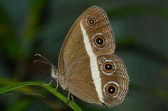 Butterflies of srilanka by ThejanRatnayake #ErnstStrasser #SriLanka