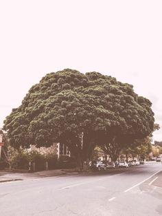 Broccoli Tree - Barossa Valley