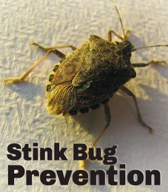 Ugh! I have these all over my house! Must Read: How to get rid of stink bugs