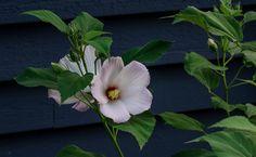 Hibiscus Swamp Rose Mallow 30 White Flower Seeds Rose