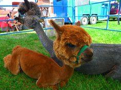 Baby Alpaca! they shaved everything but his head... Awe Pom Pom head : D