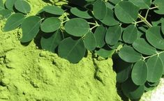 How Moringa Can Improve Your Life. Moringa originates from the South parts of Asia, but it is widely spread to all tropical places in the rest of the world. What Is Moringa, Miracle Tree, Moringa Leaves, Moringa Powder, Anti Oxidant Foods, Juicing For Health, It Goes On, Cool Plants, Moringa Oleifera