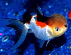 How to Care for Fancy Goldfish – The Importance of Providing a ...